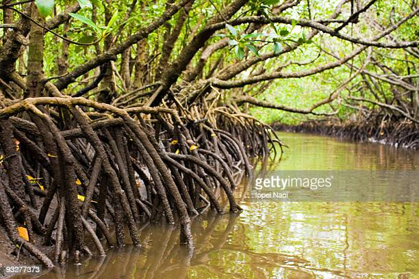 mangrove roots at low tide in the jungle, okinawa - mangrove tree stock pictures, royalty-free photos & images