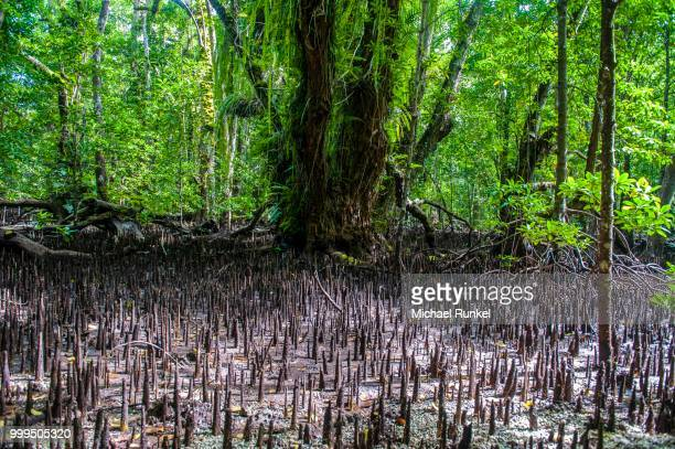Mangrove roots, Carp Island, Rock Islands, Palau, Micronesia