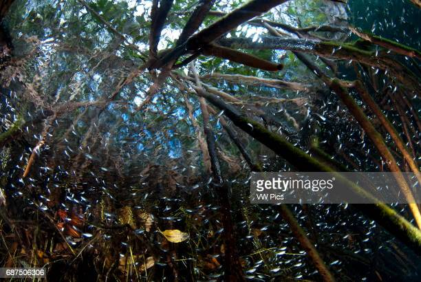mangrove roots full of life in Casa cenote near Tulum Riviera maya Mexico