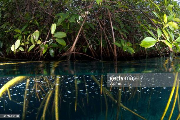 mangrove roots full of life in Casa cenote near Tulum Riviera maya Mexico split image