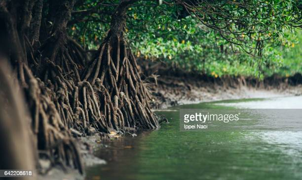 mangrove roots in jungle, iriomote national park, japan - mangrove tree stock pictures, royalty-free photos & images