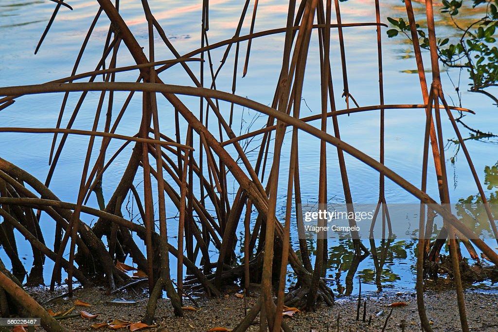 Mangrove roots : Stock Photo