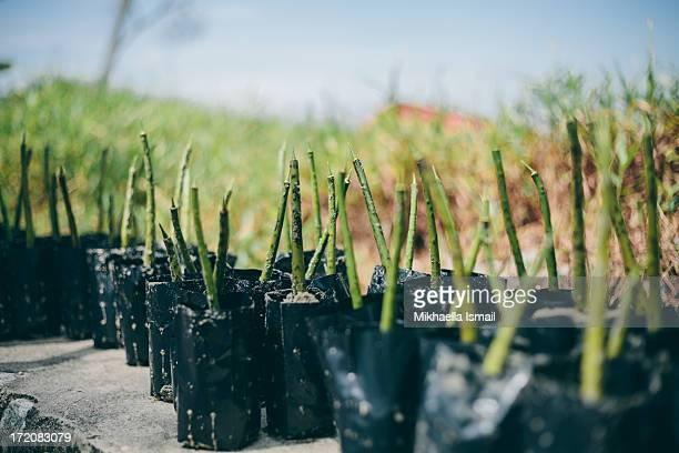 Mangrove Seedlings Replanting in Polybags