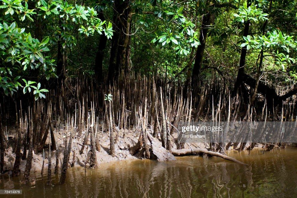 Mangroves, Mossman River, Australia : News Photo