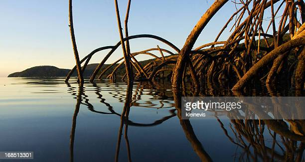 mangrove sunset - mangrove tree stock pictures, royalty-free photos & images