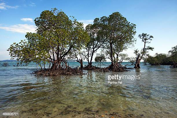 Mangrove Tree in sea, Neil Island,Andaman