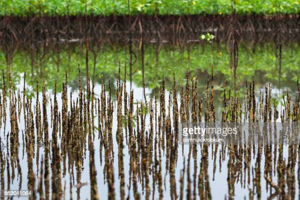 Mangrove tree in wetland