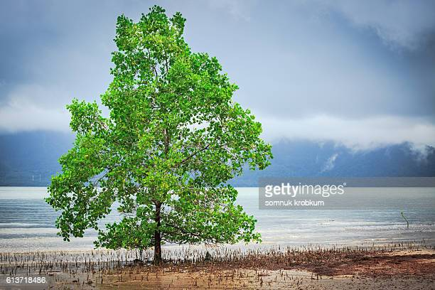 Mangrove tree on low tide beach