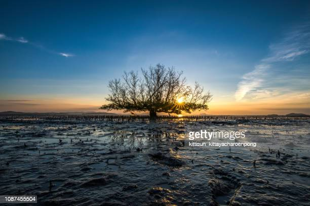 Mangrove tree on the beach