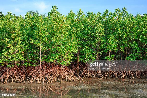 mangrove tree - mangrove tree stock pictures, royalty-free photos & images