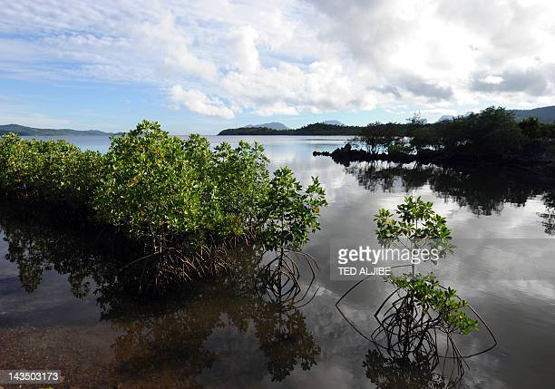 Mangrove trees are seen at Ulugan Bay shores in Puerto Princesa Palawan island south of Manila on April 25 2012 AFP PHOTO/TED ALJIBE