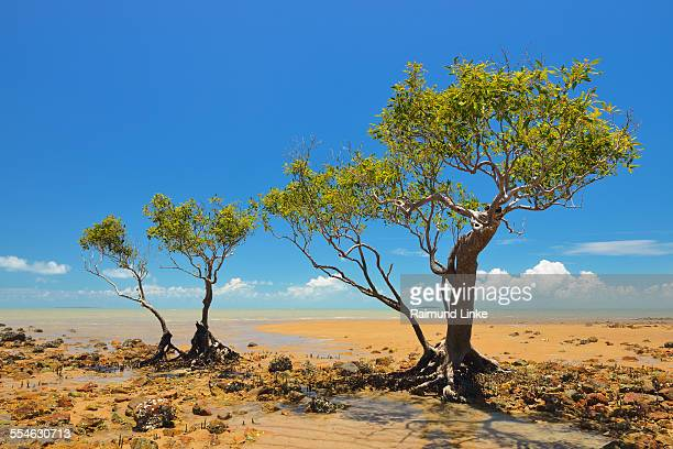 Mangrove Trees at the Stone Coast
