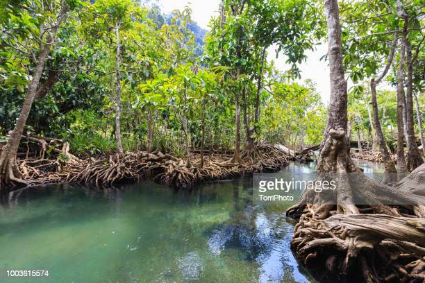 "mangrove trees forest with turquoise water canal in krabi thailand""n - ecosystem stock pictures, royalty-free photos & images"