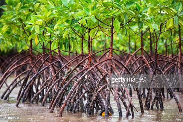 mangrove trees on sea beach coastal in rainy season - mangrove tree stock pictures, royalty-free photos & images