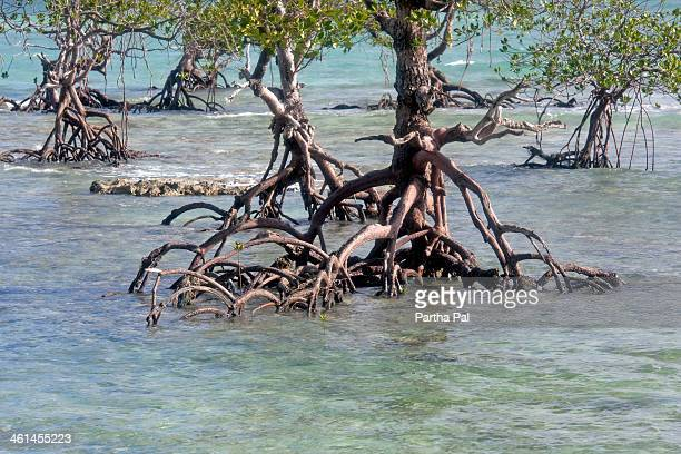 Mangrove Tress in the sea,Andaman
