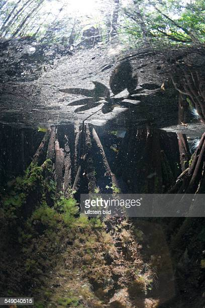 Mangroves Area in Jellyfish Lake Jellyfish Lake Micronesia Palau