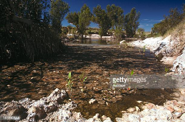 Mangroves , at Lost River, a salt river locked from the sea several tens of kilometres away by siltation and a slight fall in the sea level in the...
