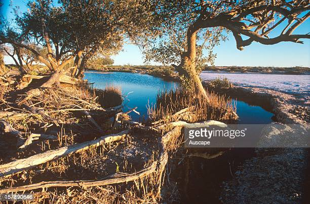 Mangroves at Lost River a salt river locked from the sea several tens of kilometres away by siltation and a slight fall in the sea level in the last...