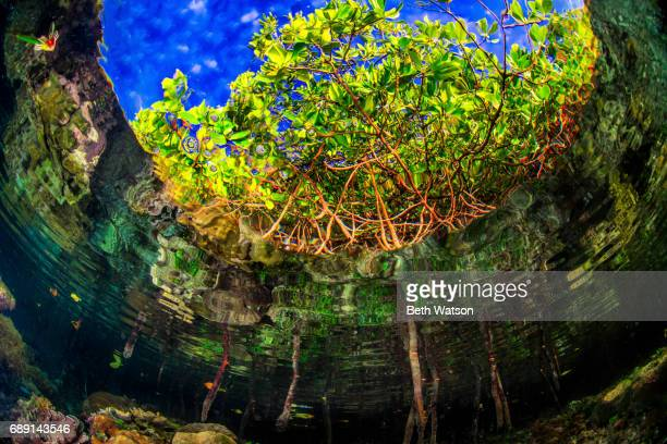 Mangroves from beneath the surface