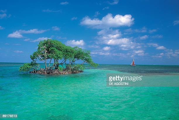 Mangroves trees on an island in the sea Caye Caulker Belize
