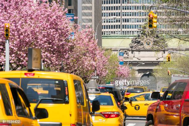 Manhattan traffic goes through along the full-blossomed rows of cherry blossom trees at Park Avenue in Manhattan New York City. Grand Central Terminal can be seen in far back distance.