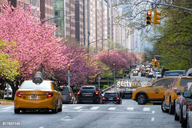 Manhattan traffic goes through along the full-blossomed rows of cherry blossom trees at Park Avenue in Manhattan New York City.