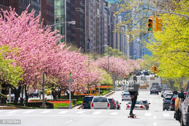 Manhattan traffic goes through along the full-blossomed rows of cherry blossom trees at Park Avenue in Upper Manhattan New York City.