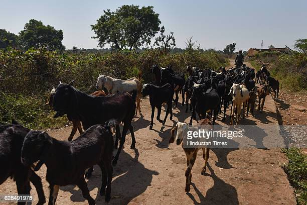 Manilal one of several goatherds makes his way through the village on October 26 2016 in Janwaar India Thanks to a German community activist and...