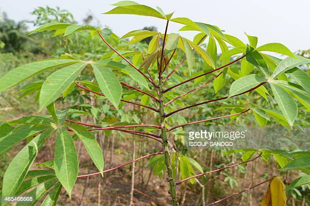 Manioc tubers are seen in a plantation near Abidjan on March 6 ingredient of the Attieke a classic of the Ivorian food Originated from southern Ivory...