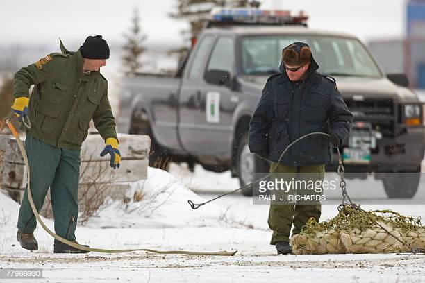 Manitoba Natural Resources Officers hook up two subadult polar bears after they spent two weeks in the Polar Bear Jail got lip tattoos tracking ear...