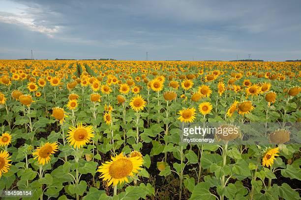Manitoba Sunflower