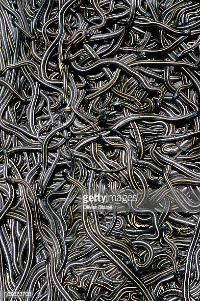 manitoba's fantastic snake pits. - garter snake stock pictures, royalty-free photos & images