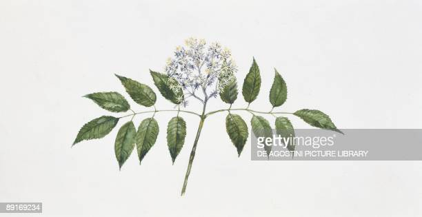 Manna Ash Inflorescence, illustration