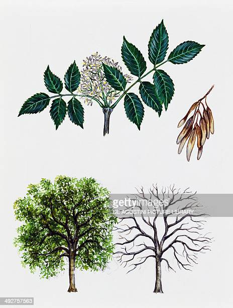 Manna ash or South European flowering ash Oleaceae tree with and without foliage leaves flowers and fruits illustration