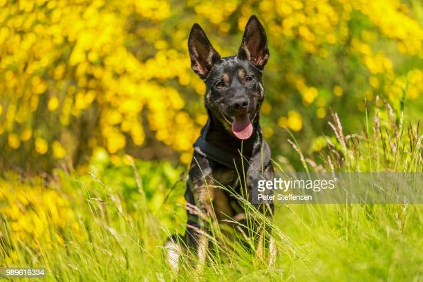 mannie working kelpie gule blomster - berger belge malinois photos et images de collection