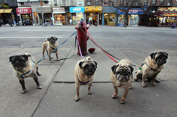 Manny Celnicks' five pugs look to be pining for their owner