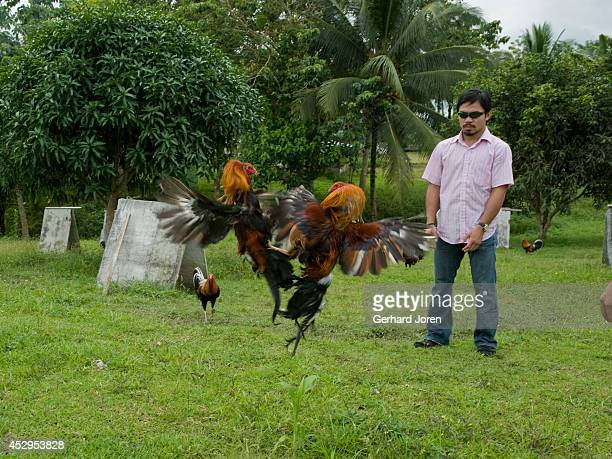MALUNGON MINDANAO PHILIPPINES Manny Pacquiao enjoys a bout of combat at his cockfighting 'Pacman farm' in Banahaw Malungon Sarangani Province where...