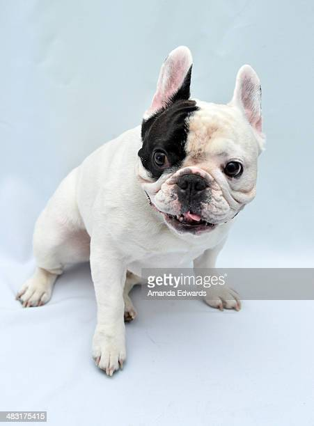 Manny The Frenchie attends the Manny The Frenchie 2014 California Tour event at Pussy Pooch Pet Lifestyle Center on April 6 2014 in Beverly Hills...