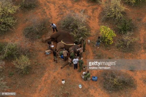 Manolo a male African Savannah elephant is collared after he was tranquilized during an elephant collaring operation on February 1 2018 in the the...