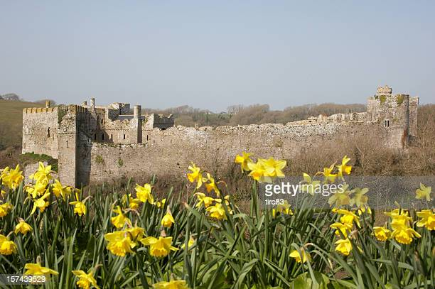 manorbier castle pembrokeshire daffodils - daffodils stock photos and pictures