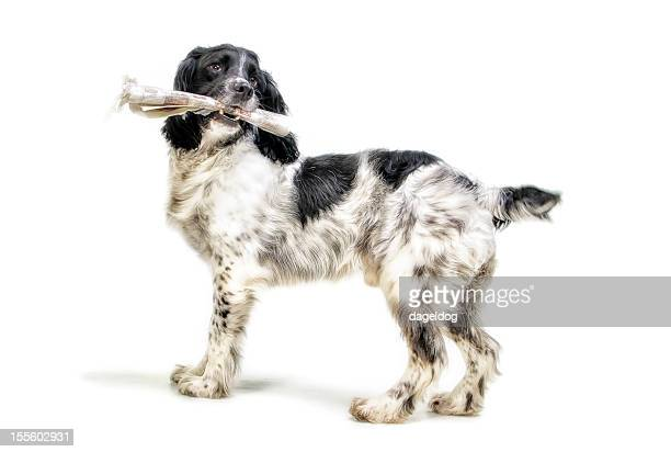 mans best friend - english springer spaniel stock pictures, royalty-free photos & images