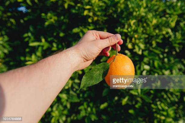 man's hand holding an orange in an orange grove, morocco - orange orchard stock photos and pictures