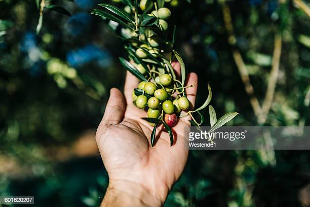 man's hand holding twig with olives - spanish olive fotografías e imágenes de stock