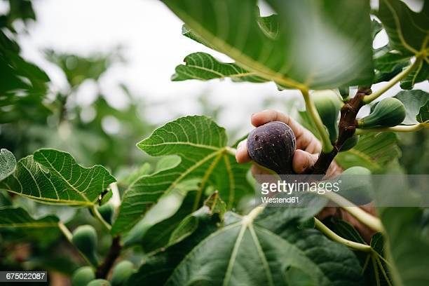 Man's hand picking fig from tree