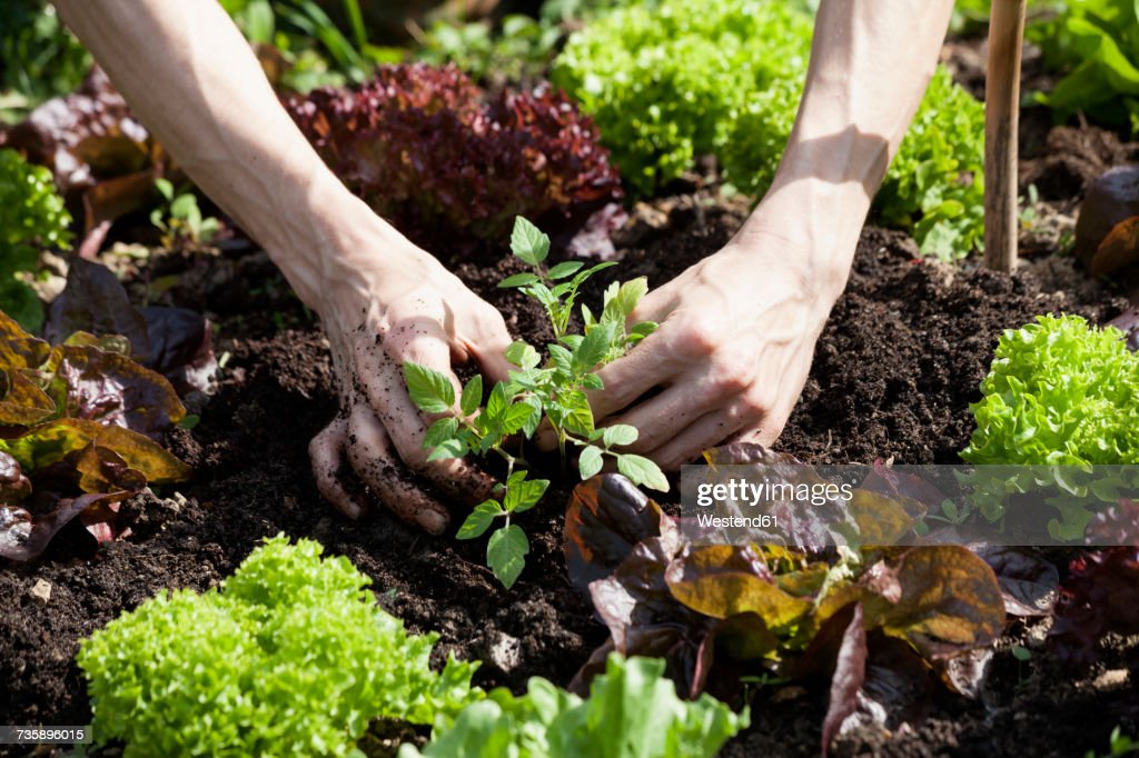 Man's hand planting tomato plant in a bed : Stock Photo