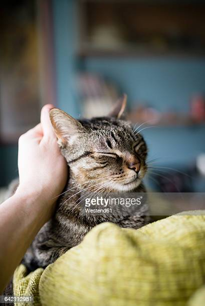 Man's hand stroking tabby cat lying on backrest of the couch
