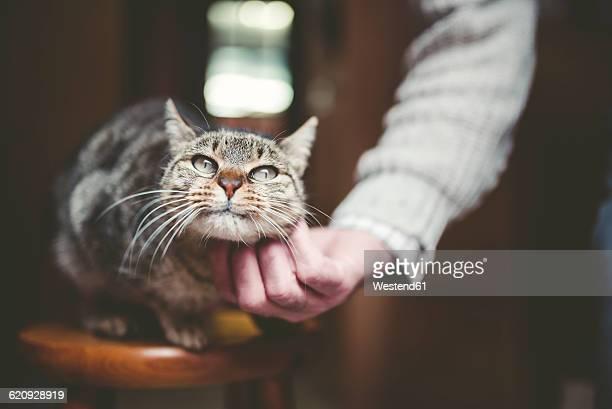 Mans hand stroking tabby cat