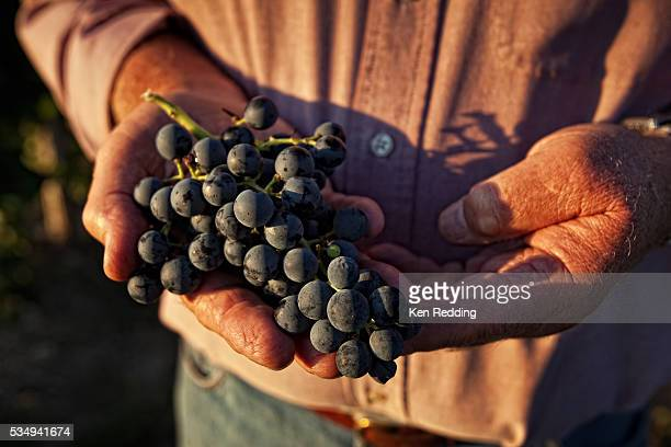 Man's Hands Holding Grape Cluster