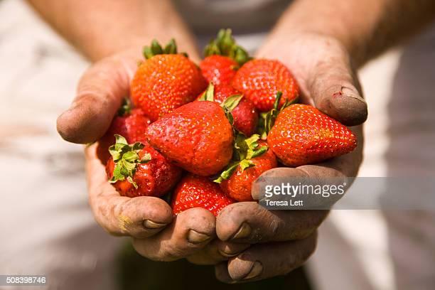 Mans hands holding strawberries
