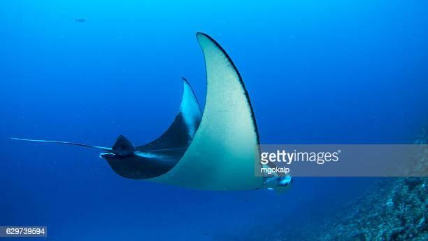 Manta alfredi swimming elegantly
